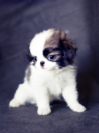 Small Dog Breeders In Wny