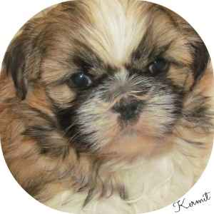 Face of a eight week old Shih Tzu Puppy