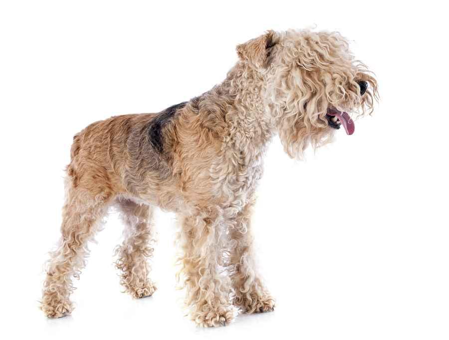 Lakeland Terrier Bold Hunter Or Affectionate Family Dog