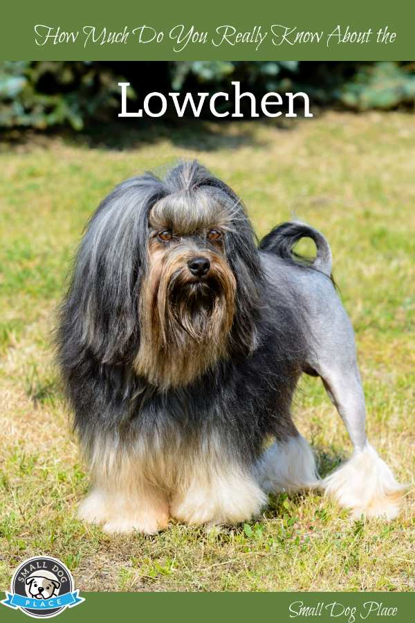 The Lowchen