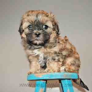 Mal-Shi Puppy (Maltese and Shih Tzu Mix)