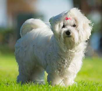 Maltese Dog in the grass