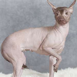 Xoloitzcuintli or Toy Mexican Hairless