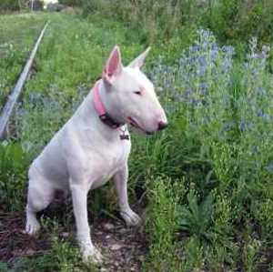 Miniature Bull Terrier sitting on the grass