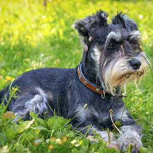 Young Miniature Schnauzer in the grass