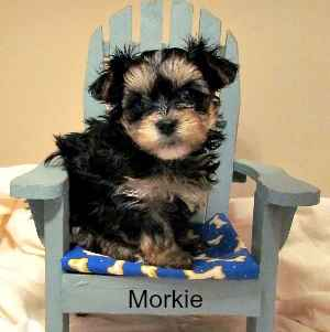 Morkie Puppy (Maltese and Yorkshire Terrier Mix)