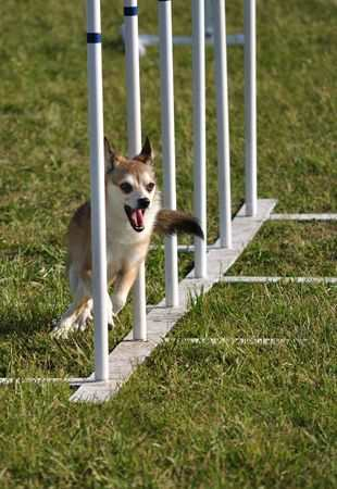 Norwegian Lundehund weaving through weave poles at dog agility trial