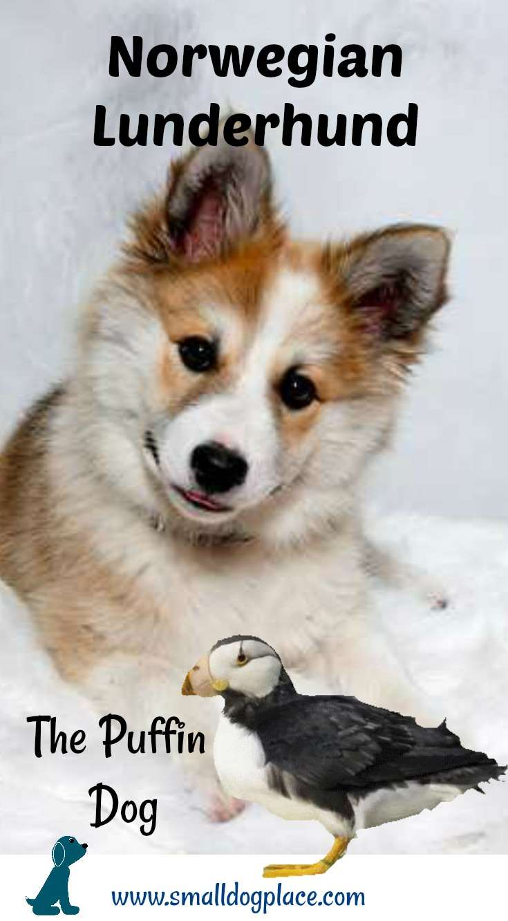 The Norwegian Lunderhund is also known as the Puffin Dog