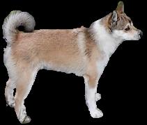 Norwegian Lunderhund