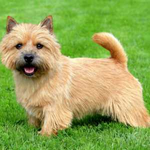Norwich Terrier History Personality