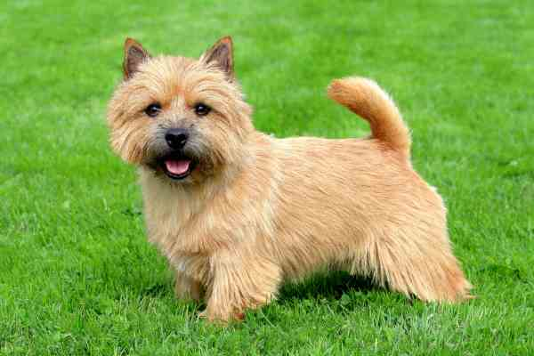 The Norwich Terrier Posing on the grass.