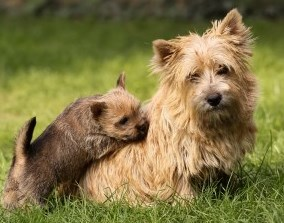 Norwich Terrier Puppy with Mother