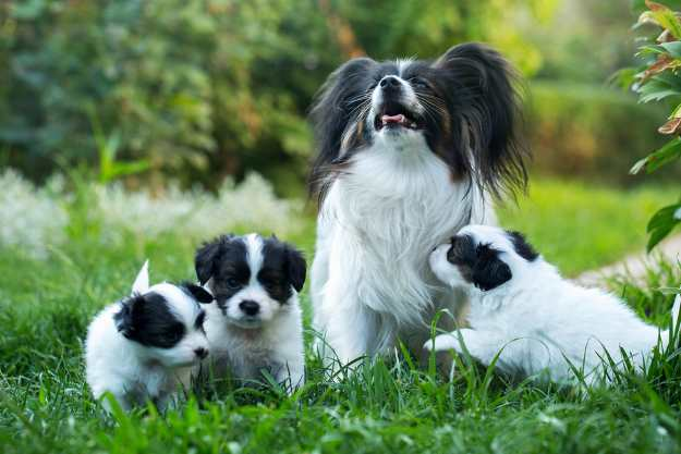 A Papillon mother with three papillon puppies sitting in the grass.