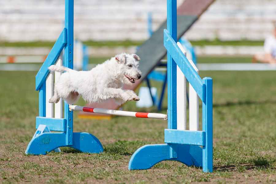 Agility is one sport that the Parson Russell Terrier can excel.