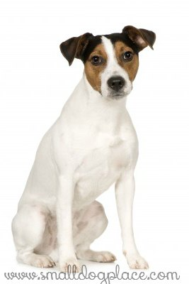 The Parson Russell Terrier Small Dog Place