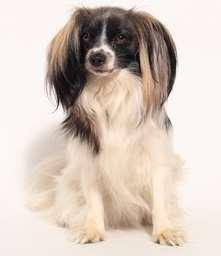 Phalene dog