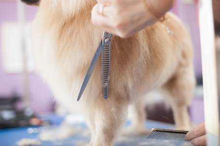 Brush and Comb Your Pomeranian Regularly to prevent mats from forming.