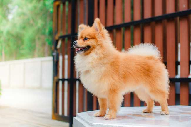 A Pomeranian is standing in front of a gate