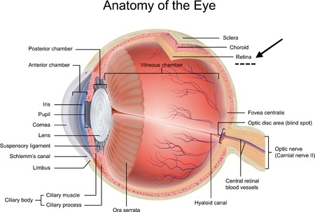 Progressive Retinal Atrophy:  Eye Anatomy