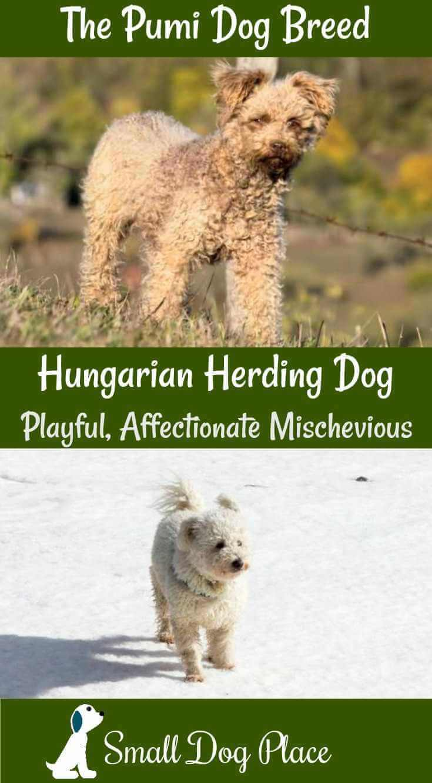 Pumi:  The Hungarian Herding Dog