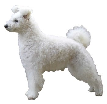 A typical White Pumi Dog