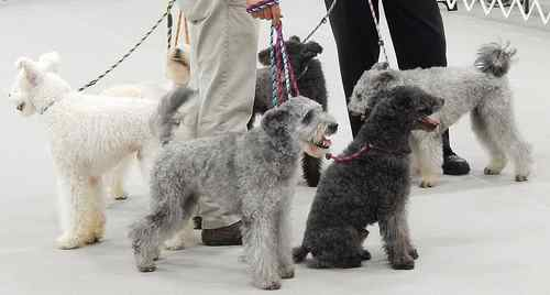 The Pumi Dog Breed comes in several different colors including gray, white, and black.