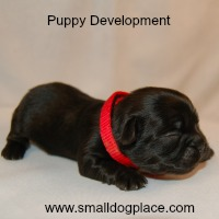 Puppy Development:  Stages of the Dog Life Cycle