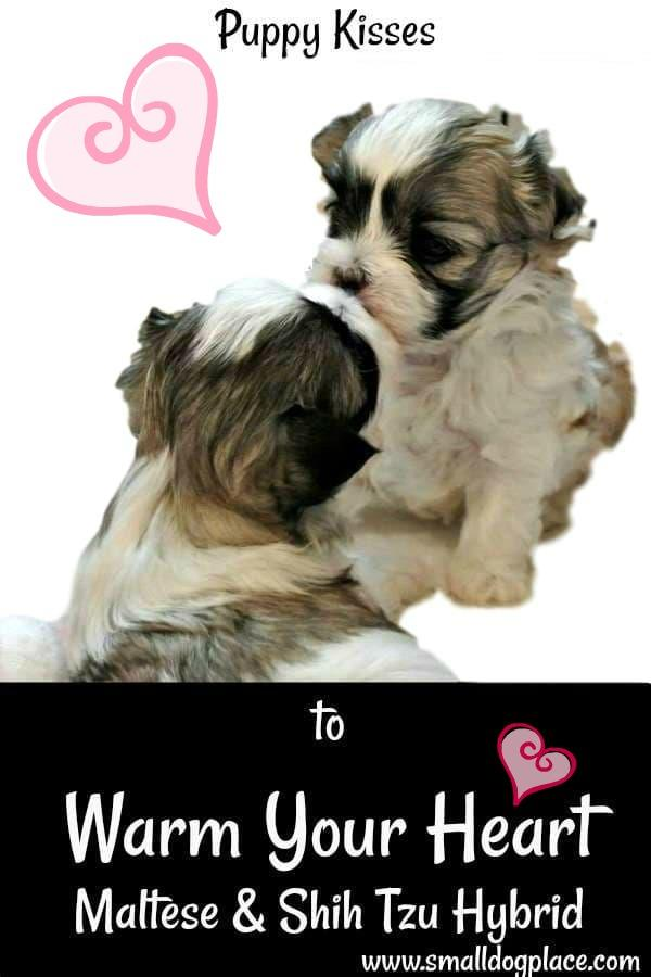 Mal-Shi Puppies appear to be kissing.