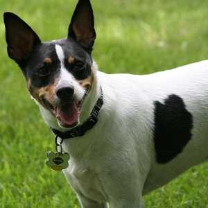 Rat terrier is looking at the camera