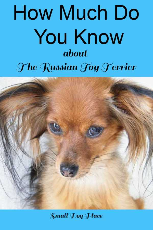 How Much Do You Know About the Russian Toy Terrier?