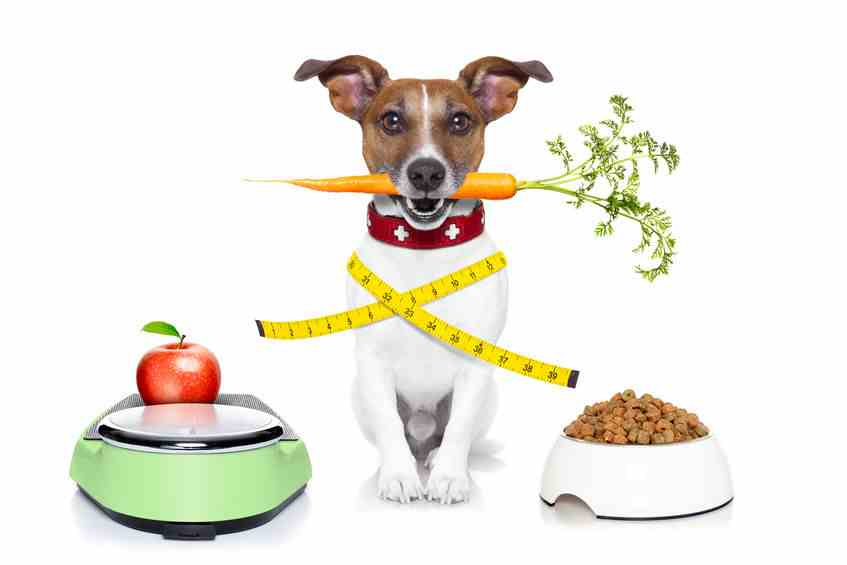 Weight control is important at any age, but is especially important as dogs age.