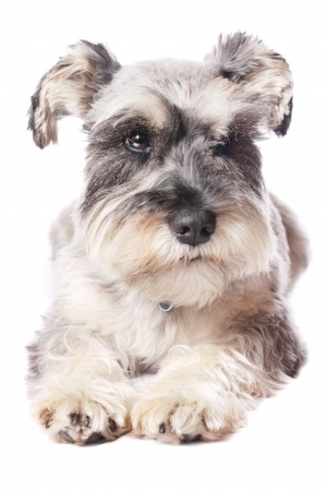 Miniature Schnauzer Breed Information