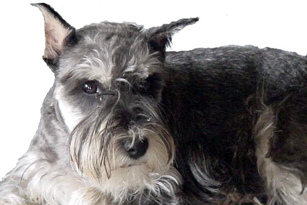 Hypoallergenic Dogs:  Schnauzers