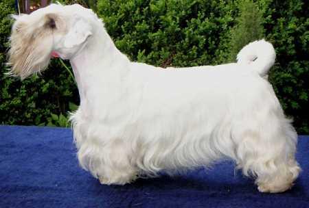 Sealyham Terrier Show Dog