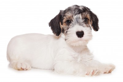 Sealyham Terrier Puppy with Badger Markings