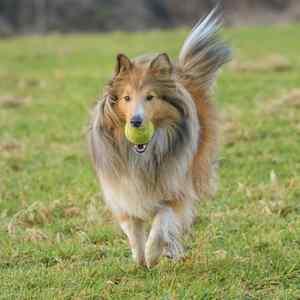 Shetland Sheepdog:  Number 24 in Popularity