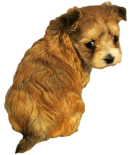 Girl Puppy Names:  Shorkie Tzu