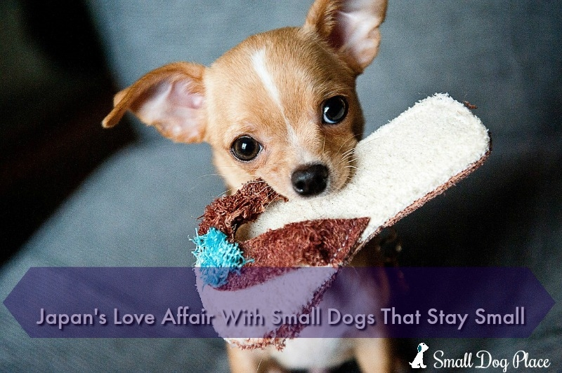 Japan's Love Affair With Small Dogs that Stay Small
