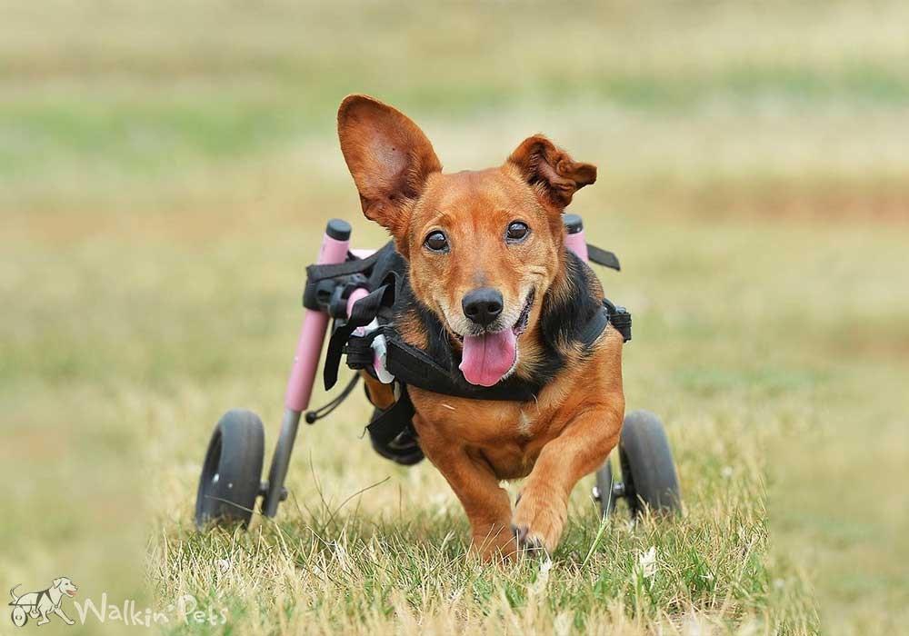 A dog is in a wheelchair running through the grass.