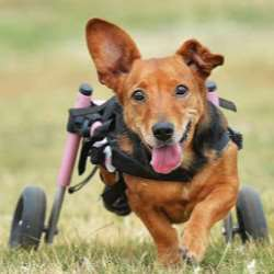 A small dog is in a wheelchair