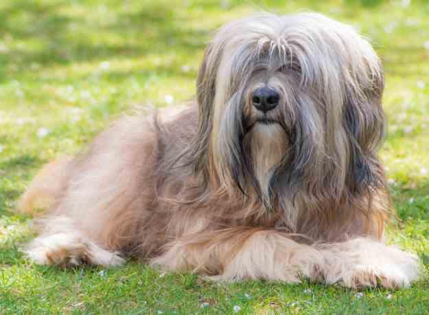 The Tibetan Terrier