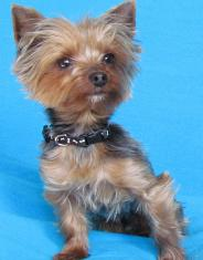 Yorkshire Terrier Dog Breed Profile And Information