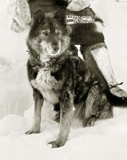 Togo was the lead sled dog that began The Great Race of Mercy