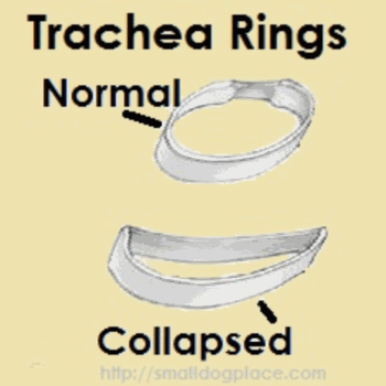 Tracheal Collapse in Small Breed Dogs