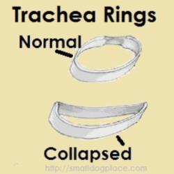 Collapsed Trachea or Tracheal Collapse