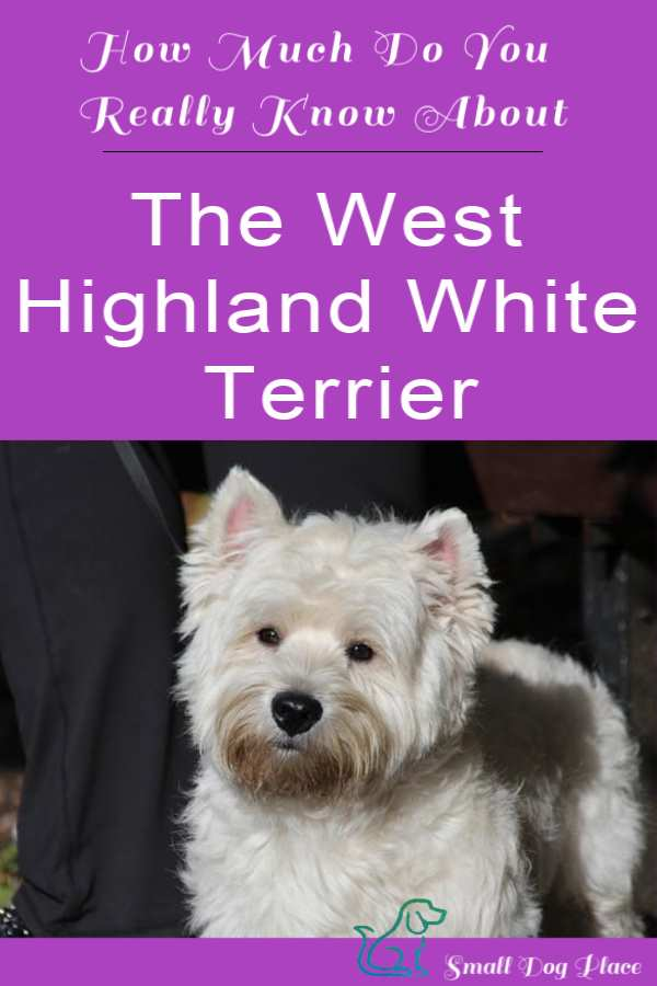 How Much Do You Know about the West Highland White Terrier