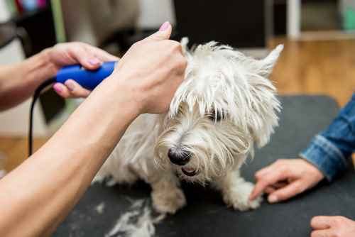 Grooming the West Highland White Terrier
