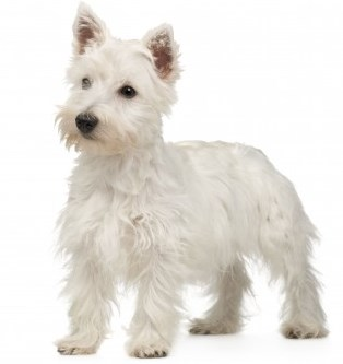 West Highland White Terrier (