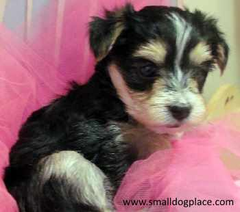 Morkie (Maltese and Yorkshire Terrier Mix)