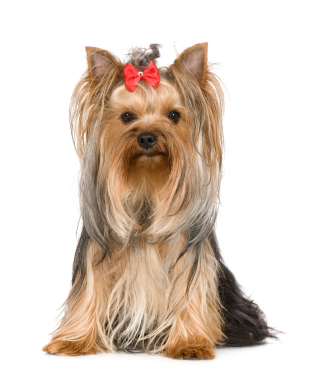 Yorkshire Terrier Father